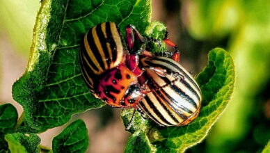 Как избавиться от колорадского жука: эффективные народные средства
