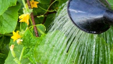 Как правильно поливать огурцы в теплице