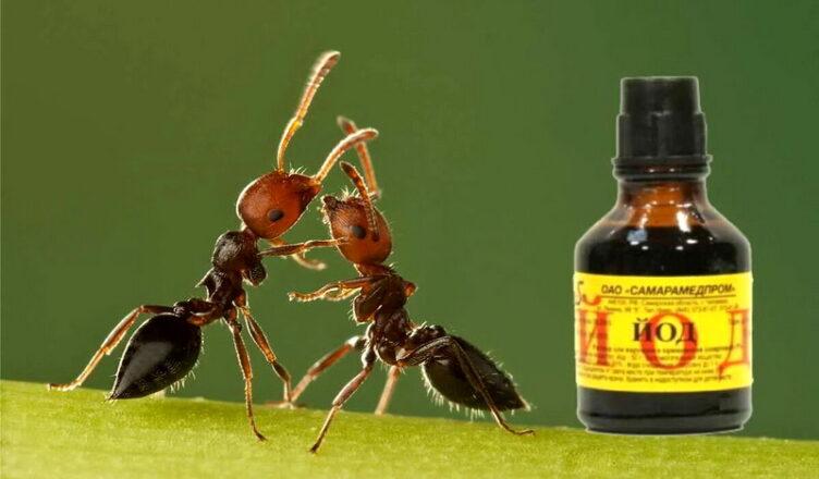 От йода муравьи уходят с участка