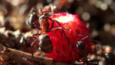 Как бороться с муравьями и тлей на клубнике