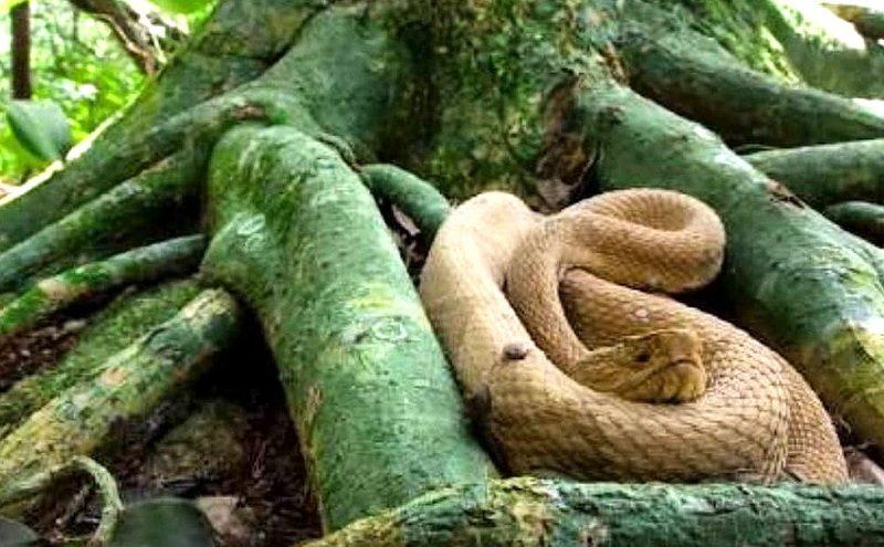 змеи на Кеймада-Гранди