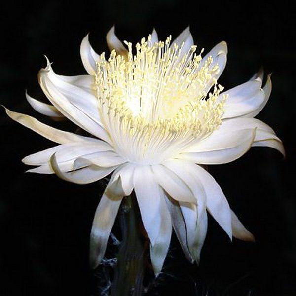 Мистический цветок «Королева ночи»
