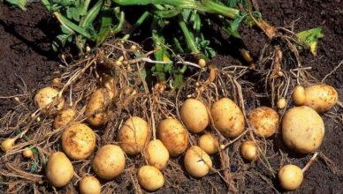 Как получить молодой картофель уже в июне - особый способ выращивания