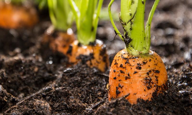 Семь лучших методов посева морковных семян