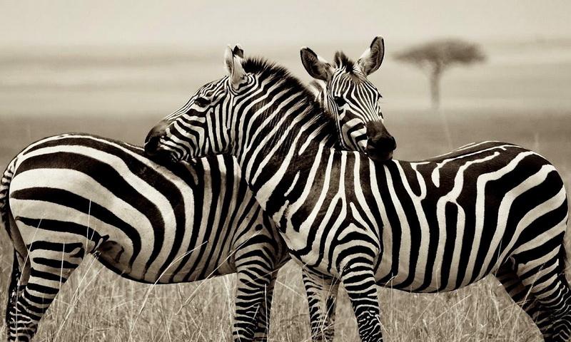 Ученые раскрыли истинную функцию черно-белых полос зебры