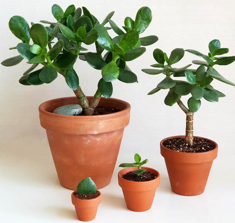 Денежное дерево: почему плохо растет толстянка