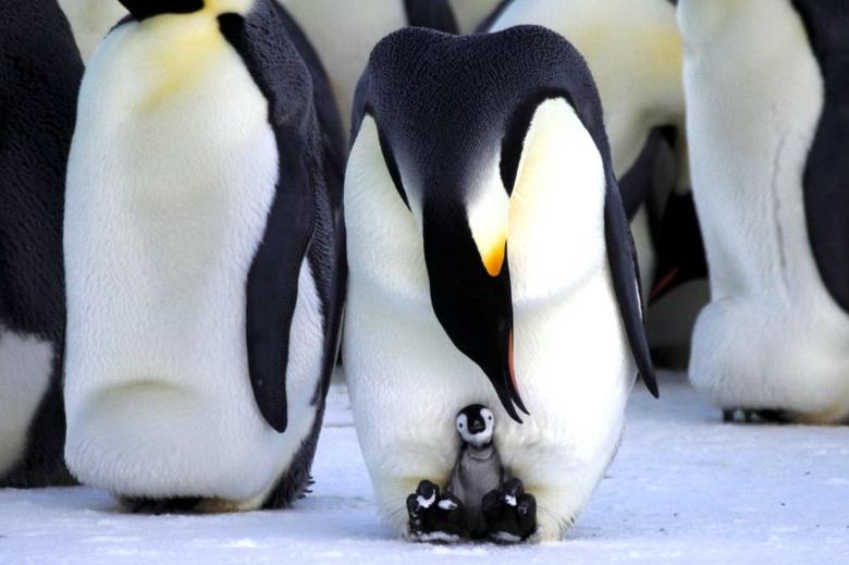 Почему лапы пингвина не замерзают