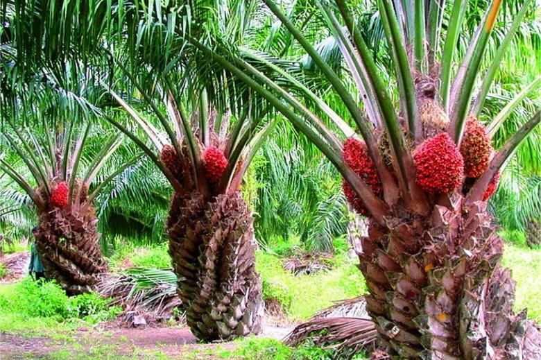 Пальмовое масло везде