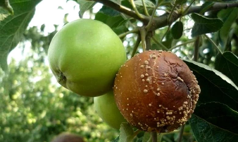 Что делать, если яблоки гниют прямо на дереве