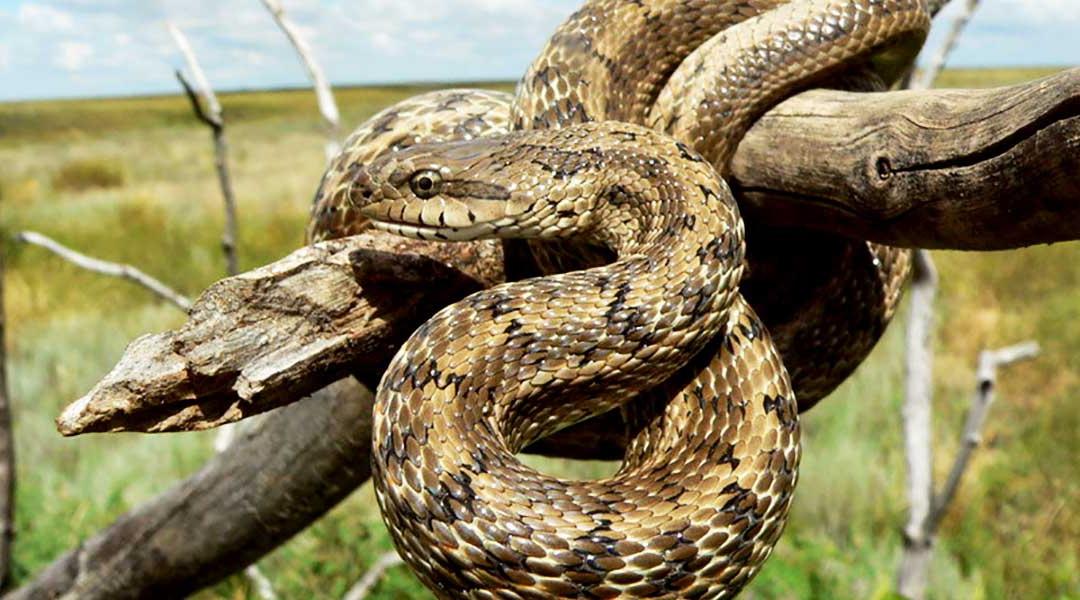 Узорчатый полоз — кубанская гремучая змея