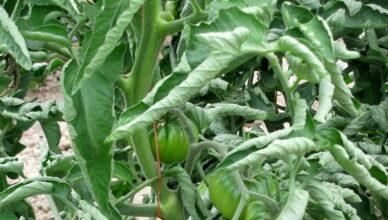 6 причин скручивания листьев томатов
