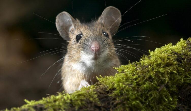 Природные враги крыс и мышей