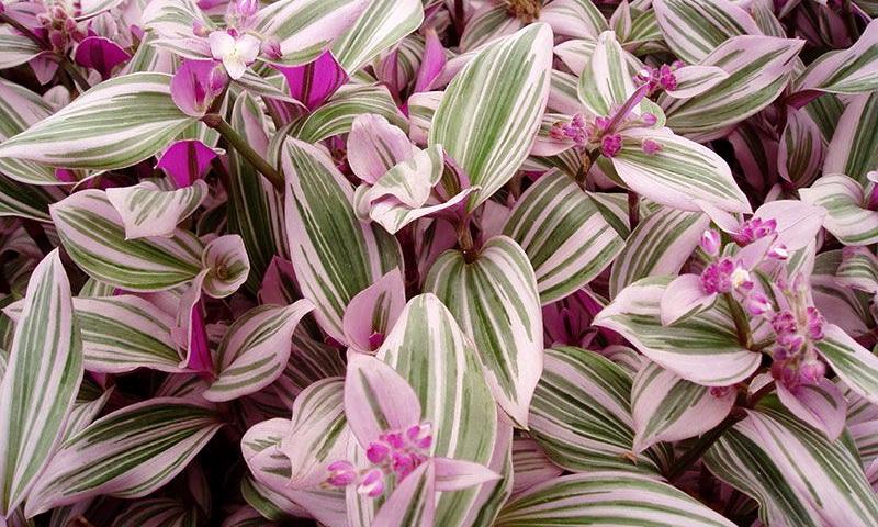 Традесканция — растение и оберег для дома