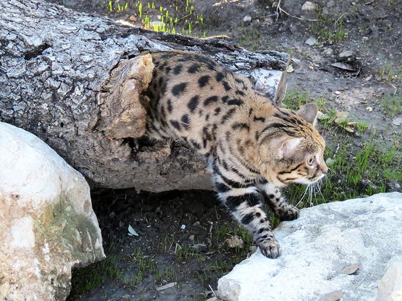 Черноногая кошка — самый беспощадный охотник в мире