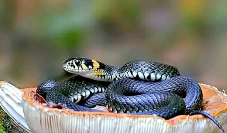 Змеи Краснодарского края: виды, фото, описания