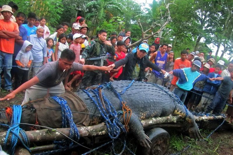 Самый большой крокодил из когда-либо пойманных