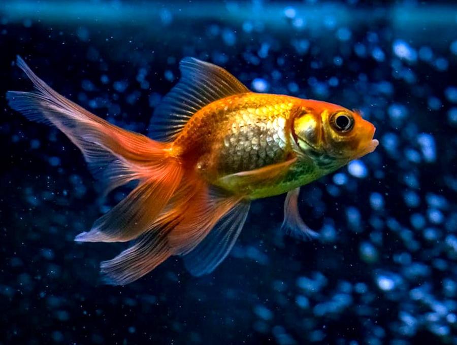 Ветеринары вырезали опухоль рыбке весом один грамм