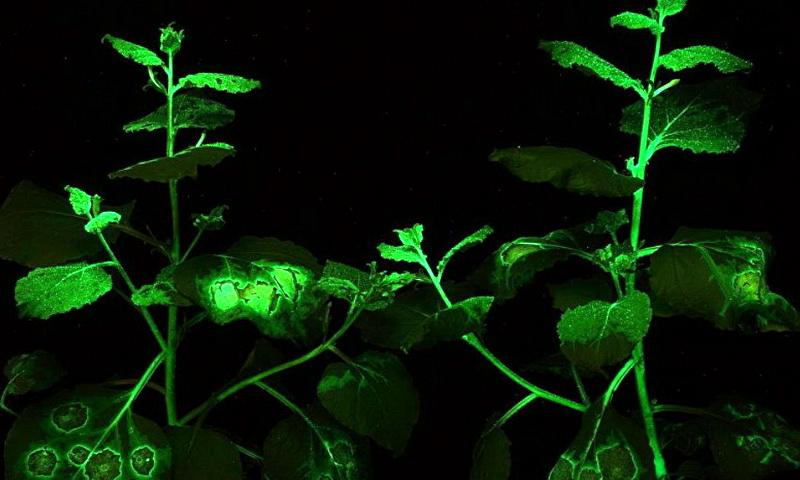 Российские генетики вырастили светящийся в темноте табак