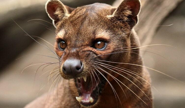 Фосса — необычная кошка и главный хищник на Мадагаскаре