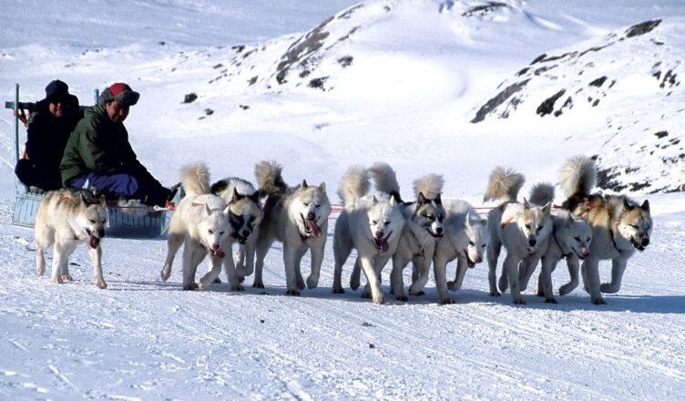 Ученые выяснили, что ездовые собаки из Сибири помогли инуитам выжить в Арктике