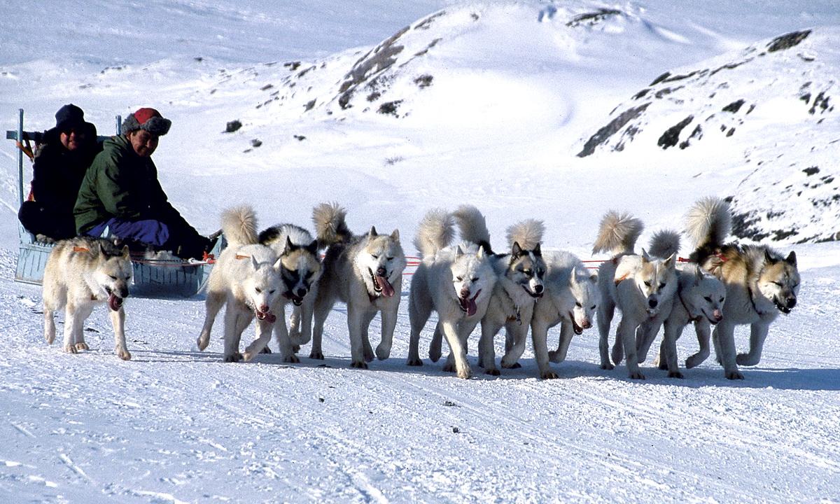Ученые выяснили — ездовые собаки из Сибири помогли инуитам выжить в Арктике