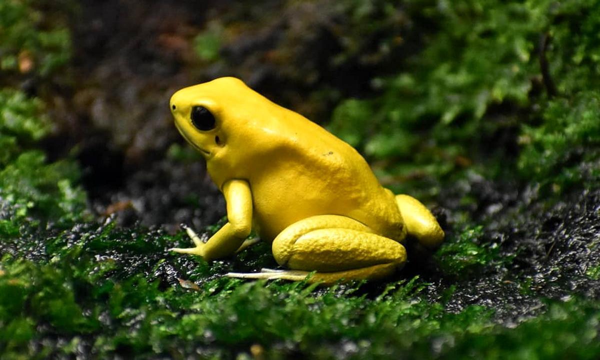 Золотой листолаз — самая опасная лягушка в мире