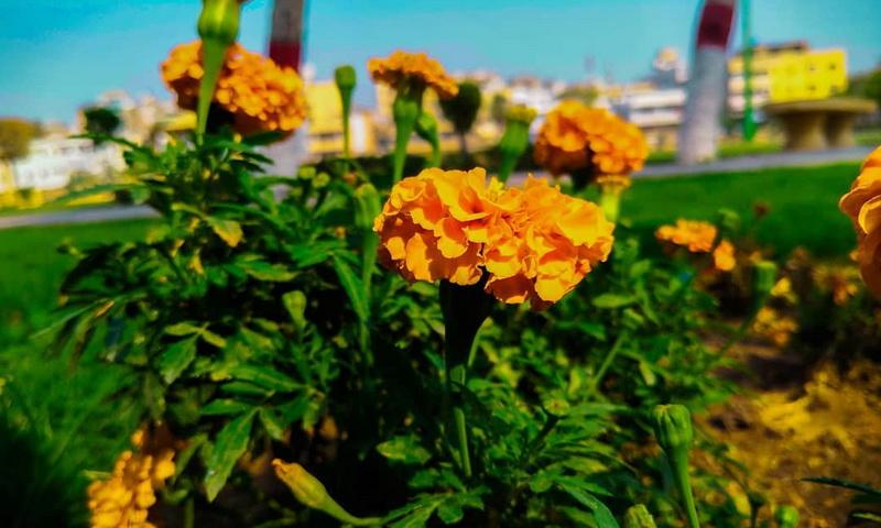 Избавиться от кротов помогут цветы на участке