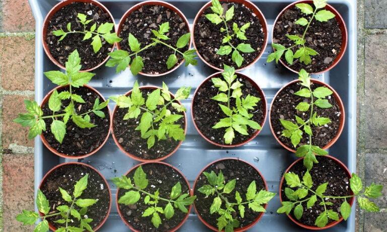 астильба посадка семенами на рассаду