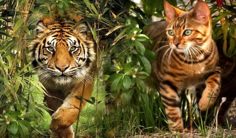 Тойгеры — кошки, похожие на тигров