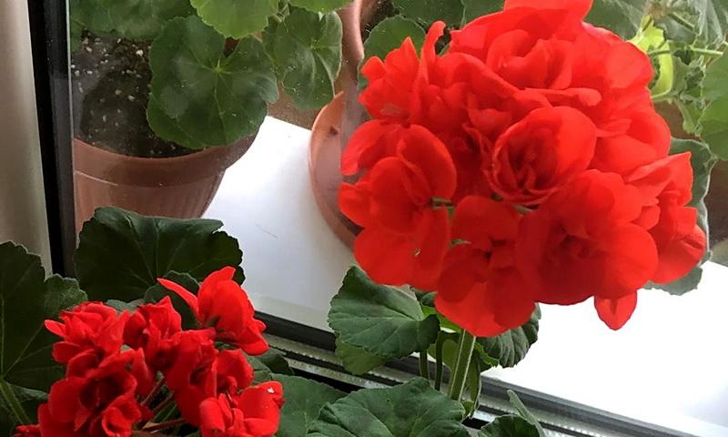 цветы красной герани