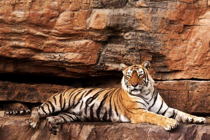 Королева тигров на отдыхе