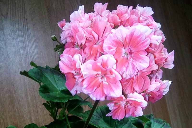 цветы розовой герани