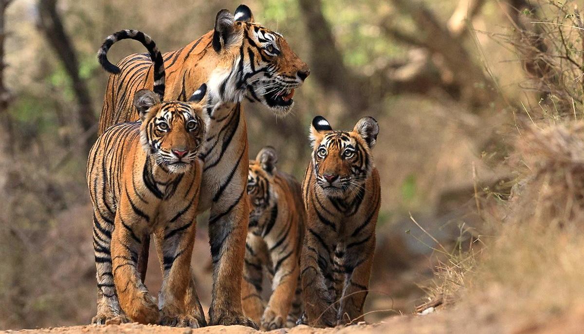 История легендарной тигрицы Мачли