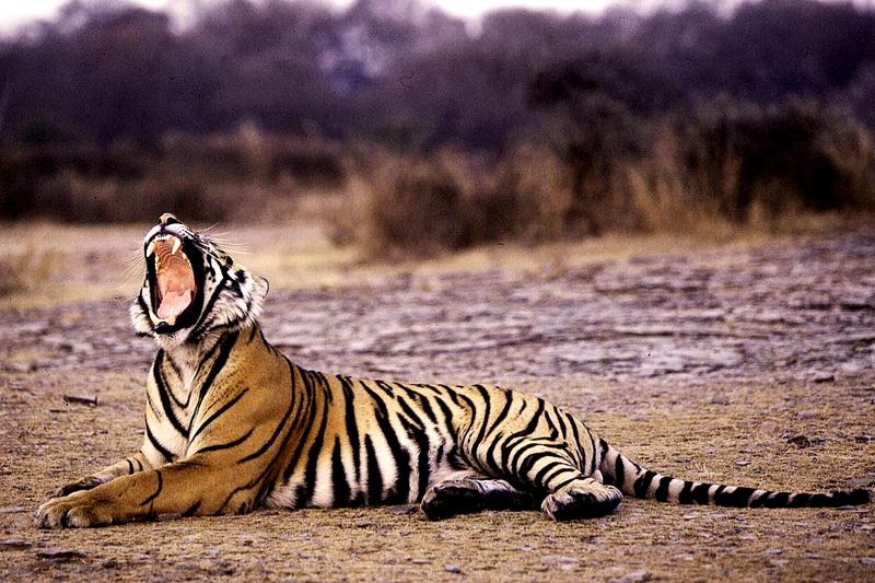 Тигрица отдыхает в парке