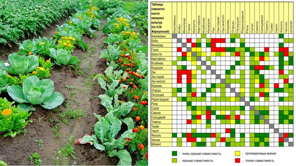 Таблица совместимости растений на грядке