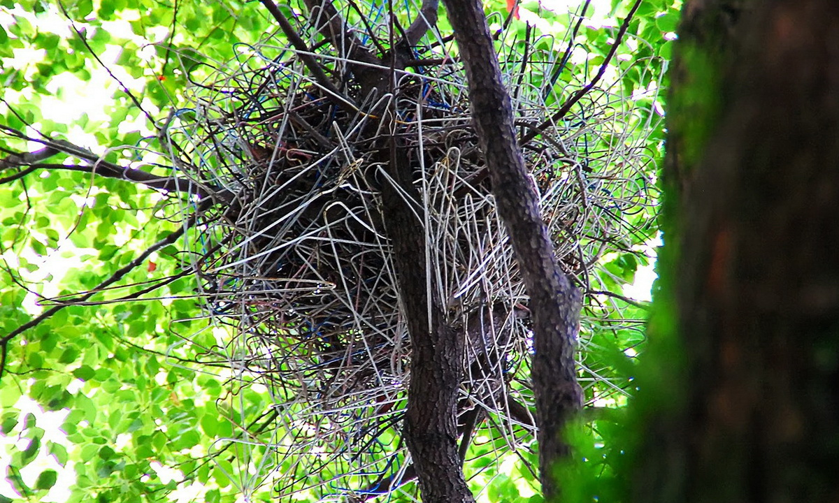 Умные вороны строят гнезда из вешалок
