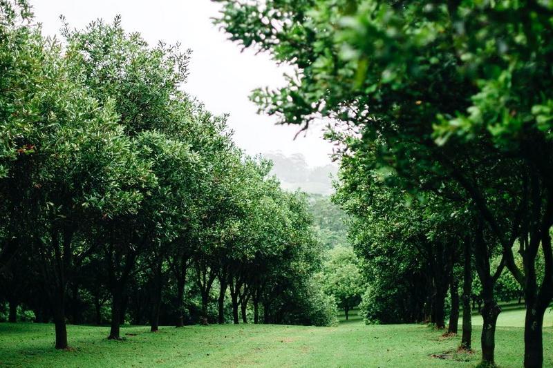 Плантация деревьев австралийского ореха