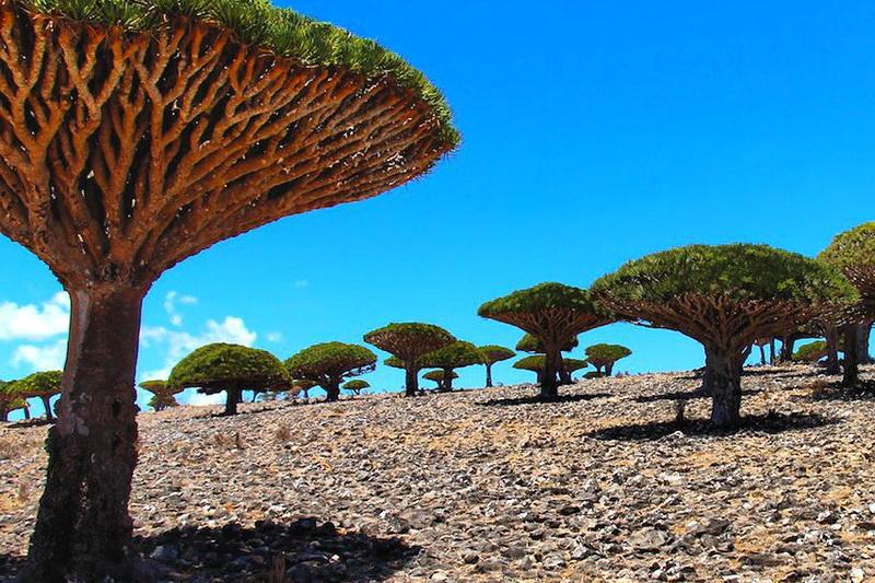 Драконовы деревья на плато Диксам