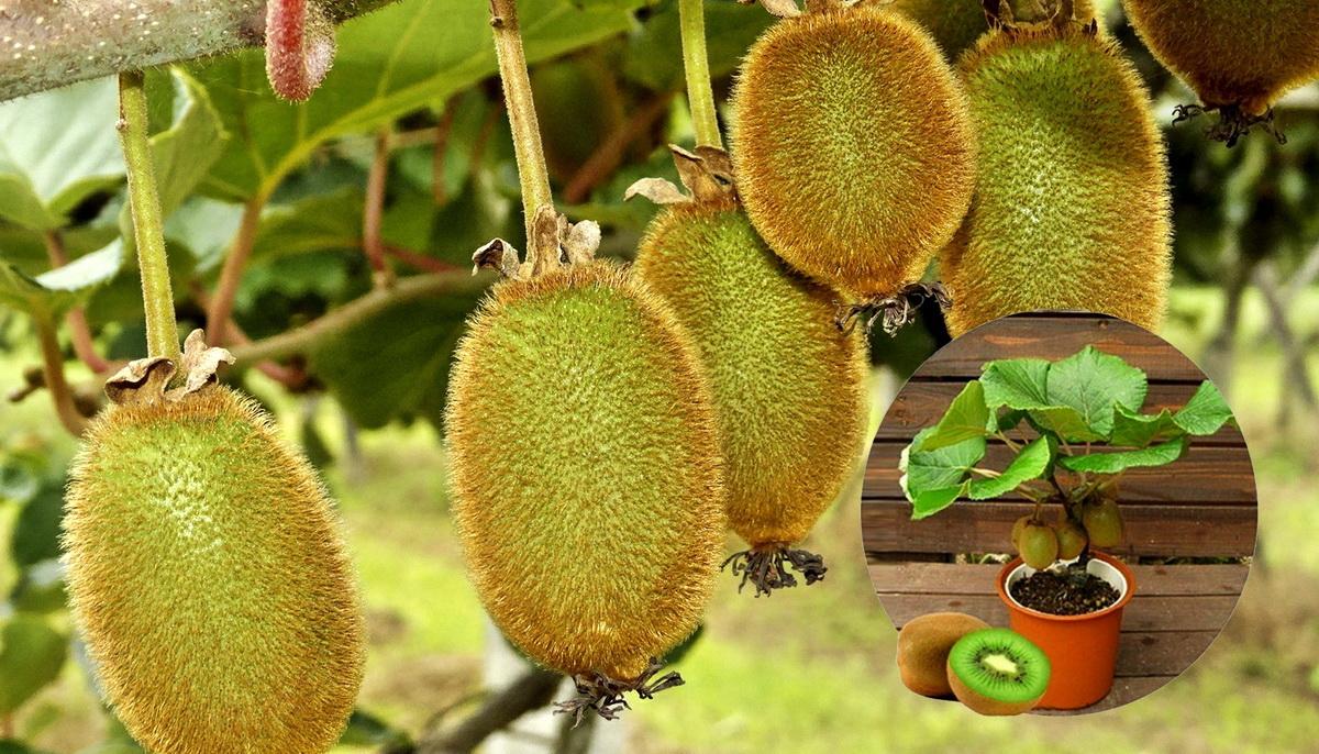 Как вырастить плод киви в домашних условиях