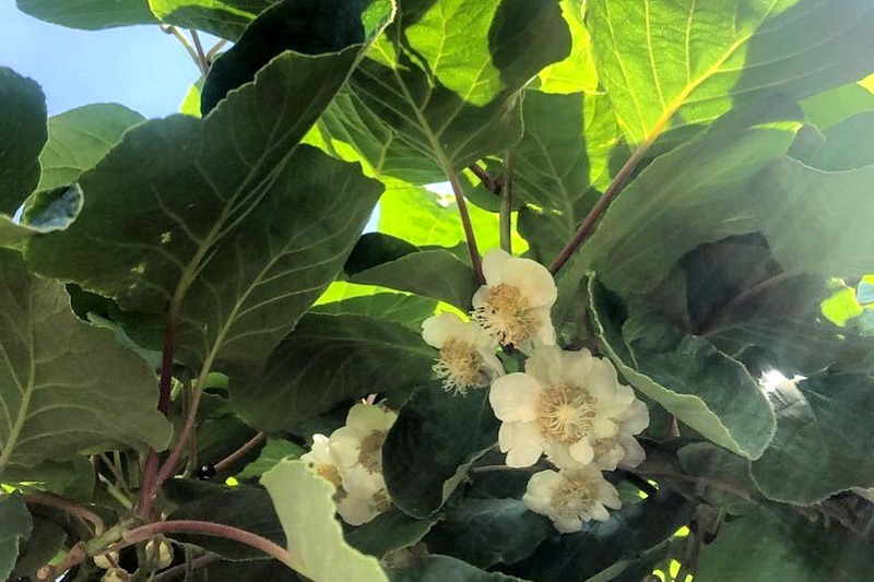 Цветки киви