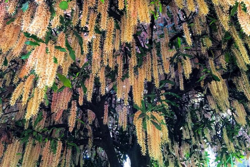 Цветущее дерево макадамия
