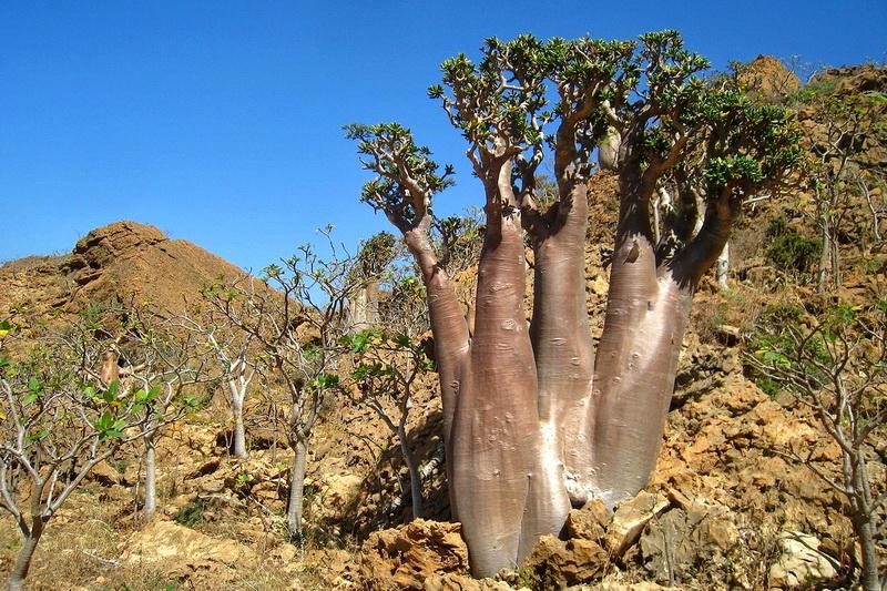 Огуречное дерево о. Сокотра