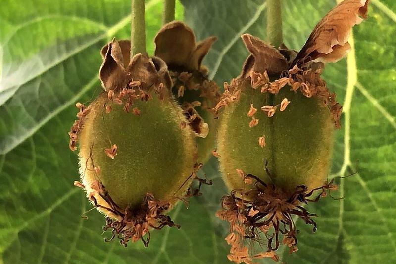 Плоды дерева актинидия