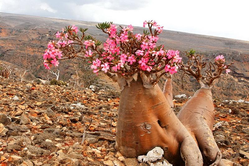Пустынная роза адениум