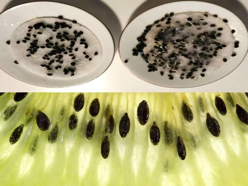 Семена киви дома