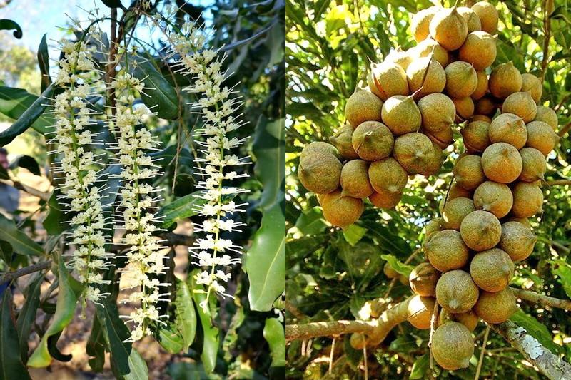Цветы и семена макадамии