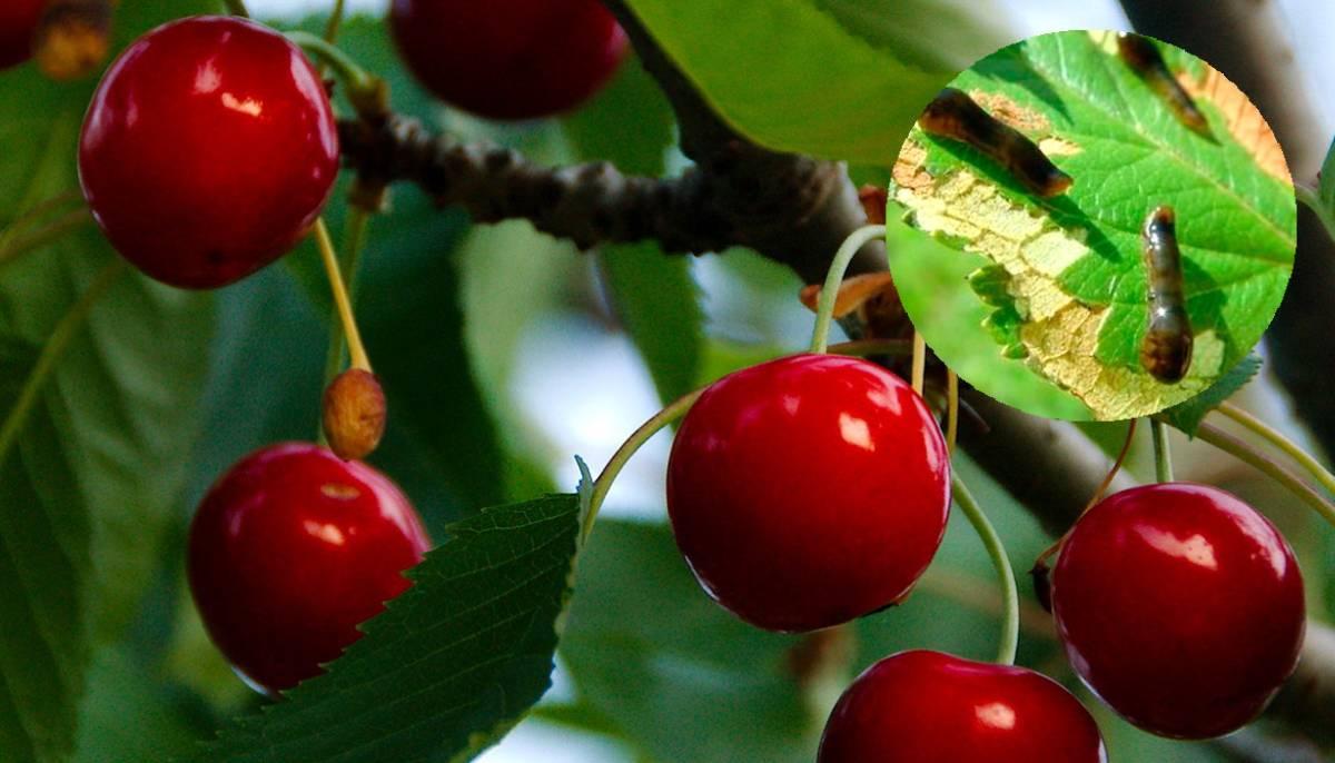 Как бороться с вишневым слизистым пилильщиком