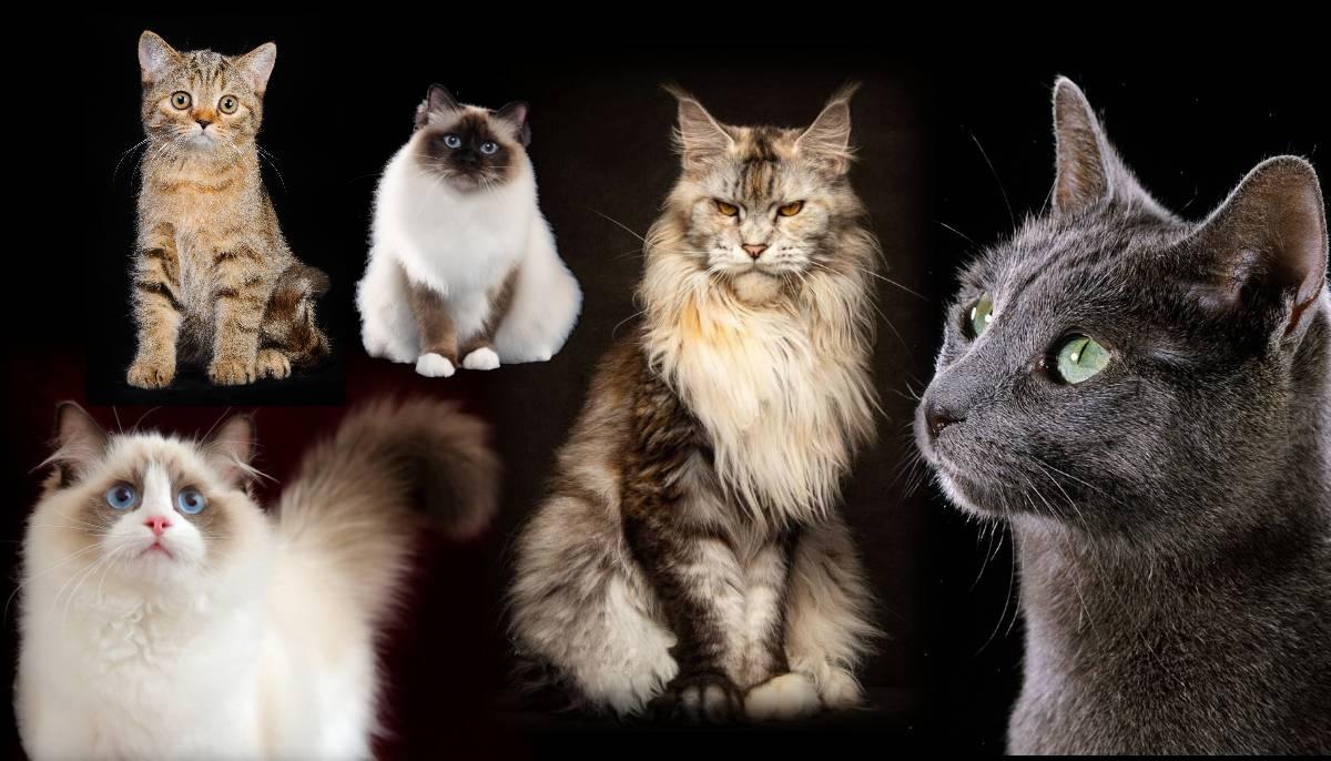 5 популярных пород кошек