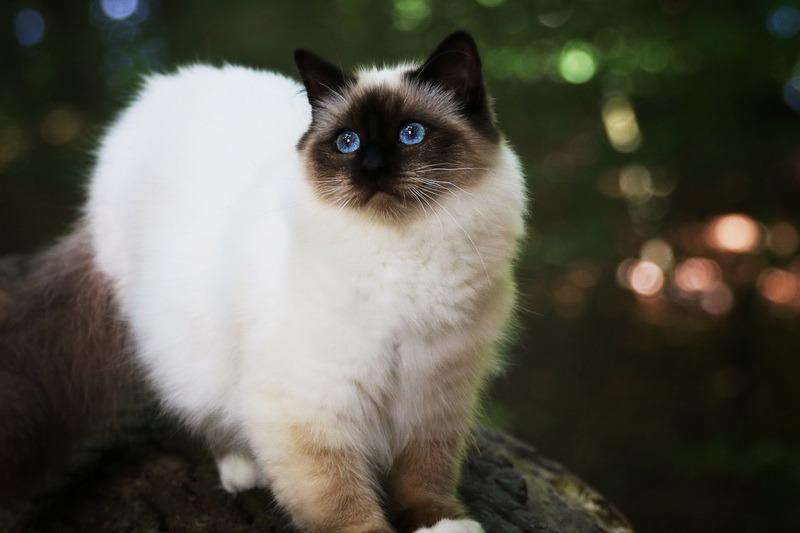 Бирманская кошка порода
