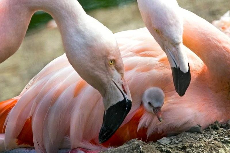 Фламинго с птенцами